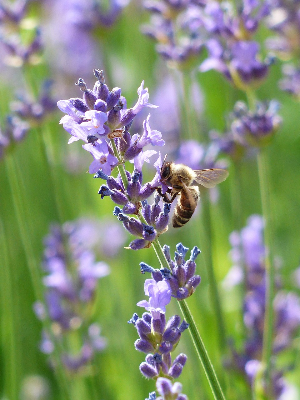 bee, insect, lavender