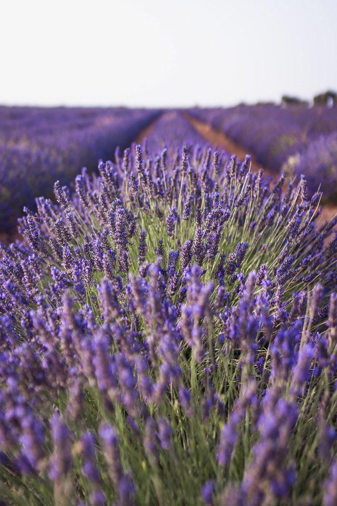 lavender, nature, field