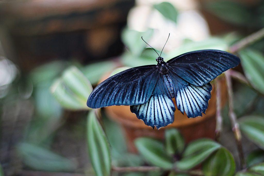 butterfly, blue, black