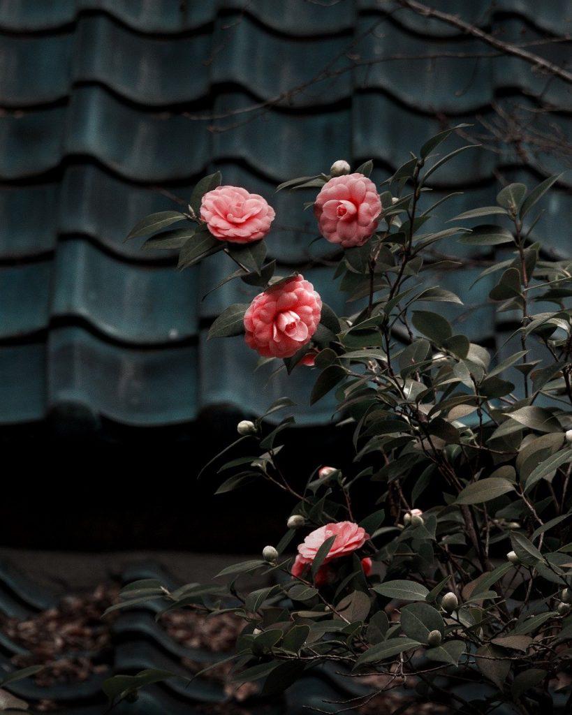 camilla, flower, plant