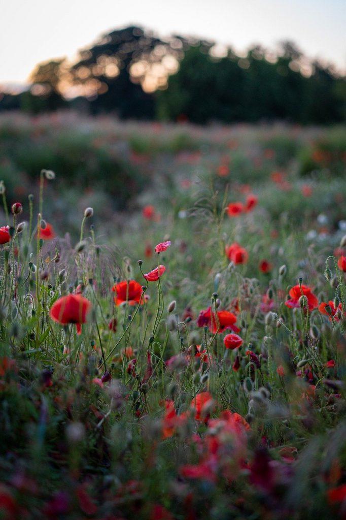 poppies, flowers, field